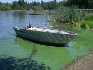 A bloom of toxic cyanobacteria