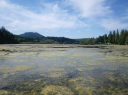 Algae growing on top of dense naiad growth, McIntosh Lake south of Olympia, 2009. J. Parsons